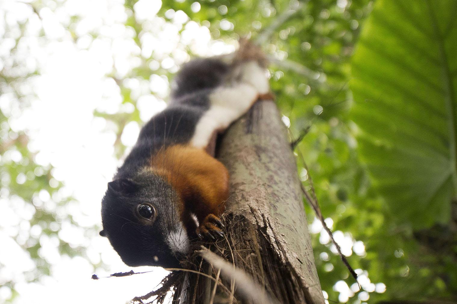 Dette egern er bare 20 cm. langt. Men perspektivet, det er fotograferet gennem, gør en del ved det faktum.